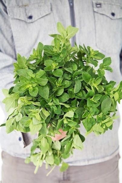 Чаи и настои душицы (орегано)  Настой травы применяется как...