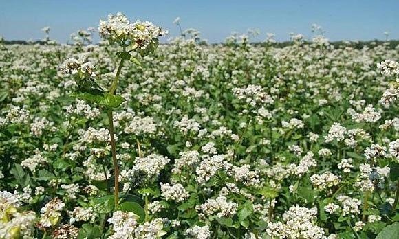 ???? СИДЕРАТЫ (зелёные удобрения)   Сидераты — это растения...