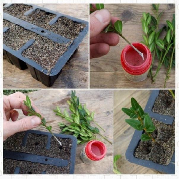 Размножение самшита черенками в домашних условиях – пошаговая инструкция с фото.