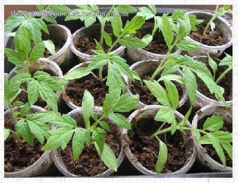 Рассаду помидоров поливают раствором йода для более быстрого роста (1 капля на т...