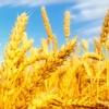 Продукция СПРАУТС-МАРИ. Пророщенная пшеница.
