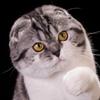 Краснозар: питомник шотландских вислоухих кошек