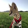 Экзотические кошки − питомник LeSavanna