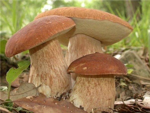 Как вырастить лесные грибы на даче?