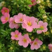 Лапчатка (Курильский чай) «Лавли Пинк (Lovely Pink)», возраст 1 год