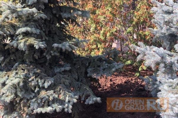 В Оренбурге на улице Чкалова неизвестные незаконно выкопали 15 голубых елей Жители забили тревогу.