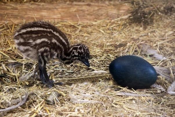 В нижегородском зоопарке вылупились два птенца австралийского эму....