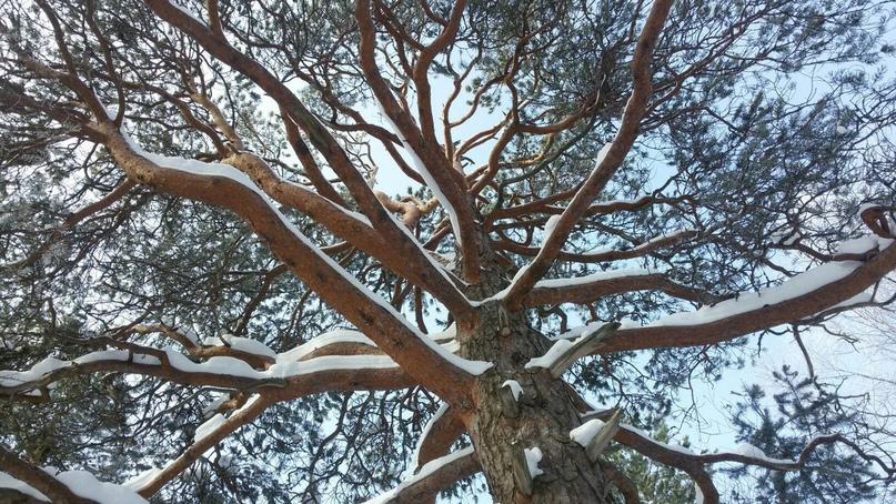 Ученые РАН и САФУ выступили против вырубки сосен на Яграх для прокладки коллектора