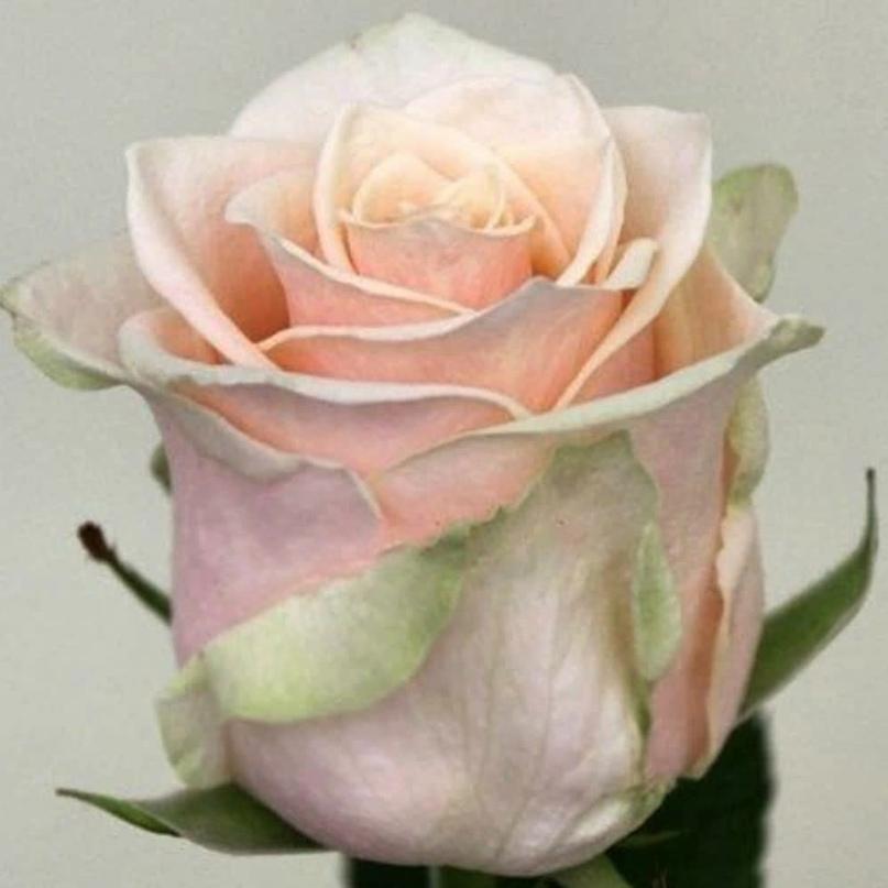 Шикарный цветок розы Талея (Talea)  цвета слоновой кости с легкой розовинкой в ц...
