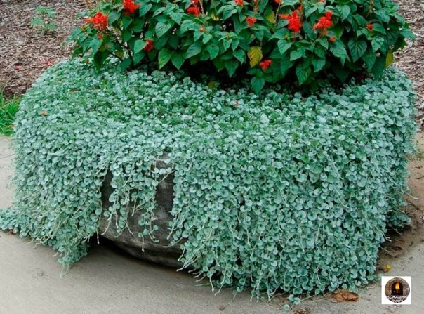 Красавица дихондра. Необычное растение.
