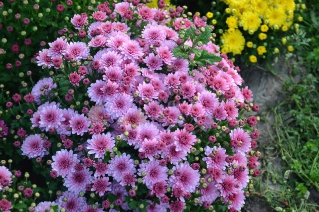 Многолетние хризантемы осенью: уход и подготовка к зиме.