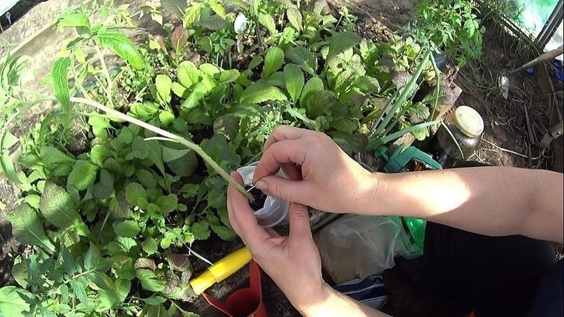 Варианты формирования томатных кустов