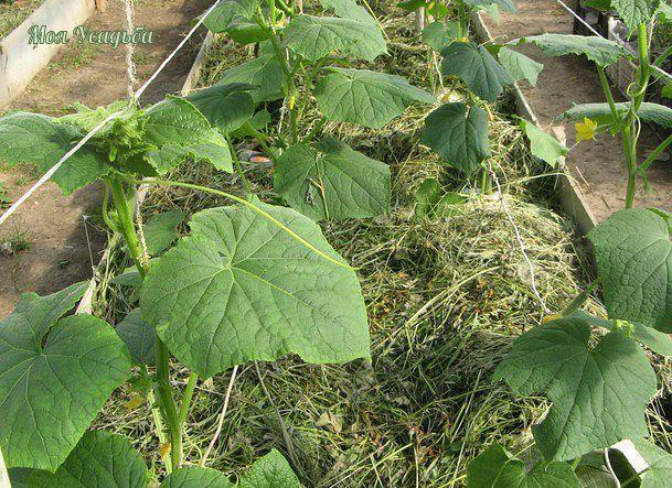 Огурцы в траншеях - двойной урожай!