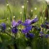 Фиалки и другие цветы в доме | Фитодизайн