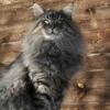 Норвежские лесные кошки СПб