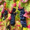 Виноградарство в Тюмени