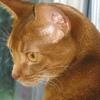 Питомник абиссинских кошек Charmed Aby