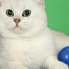 питомник британских кошек manmarensi.com