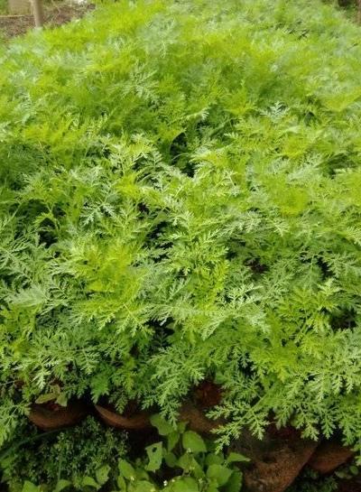Artemisia Annua, Frontignan Plage