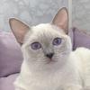 Тайские кошки и котята питомника Wonderful Elite