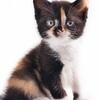 "Питомник  ""Doremurr"" !Британские кошки , котята!"