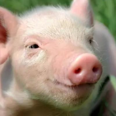 Жирный Свин