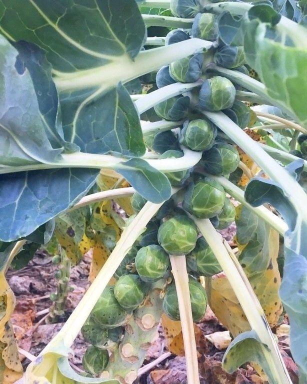 Во сколько лет вам стало известно как растет брюcceльская кaпуста?